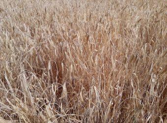Sequía_en_cereales