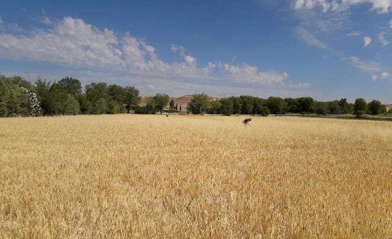 agroseguro, agricultura, agricultor, sequía, cereal, campo