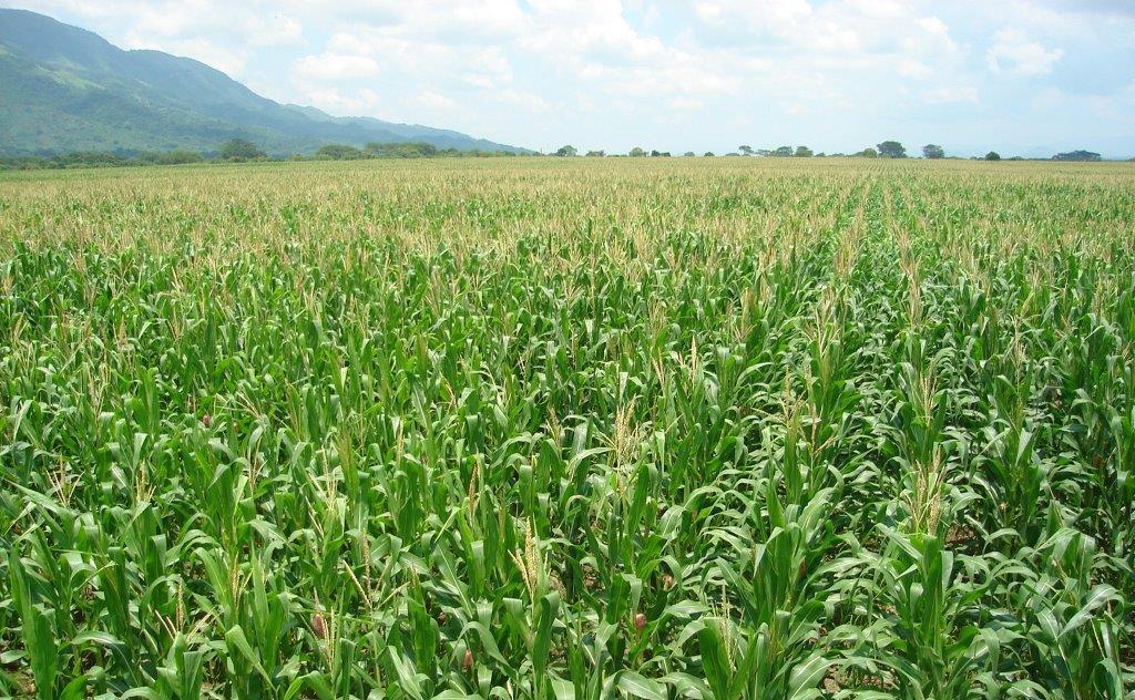 agroseguro agrario maiz