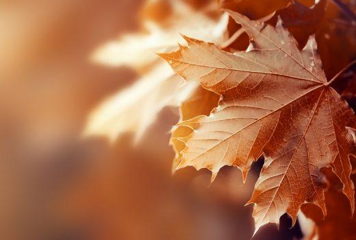 Beautiful Autumn Leaves on Autumn Red Background Sunny Daylight
