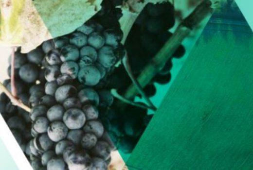 cesce vino uva