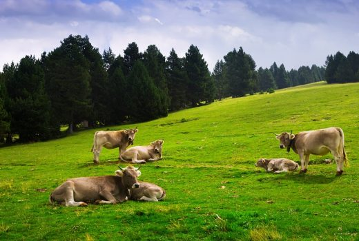 meadow with cows