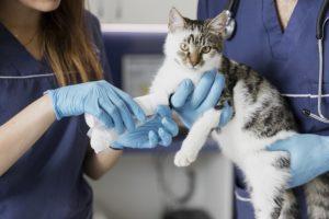 veterinario gato