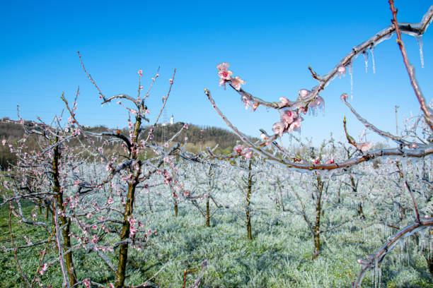 Frost Made For Protection From Later Frost, Melting in the Morning in Orchard.
